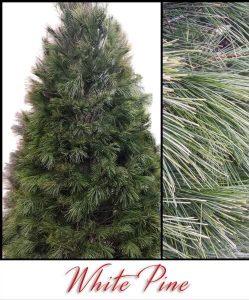 Christmas Tree Acres - White Pine